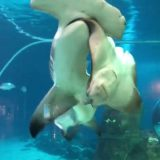 【夏休みの恐怖の思い出】水族館のシュモクザメがエイを食いちぎる!