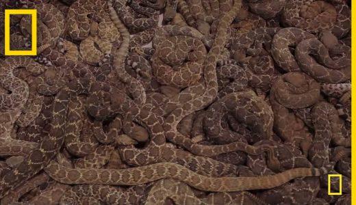 【閲覧注意】大量のガラガラヘビの殺戮ショー「ガラガラヘビ狩り」がやばい!
