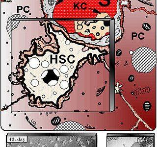 伊藤細胞という名前の細胞が存在する