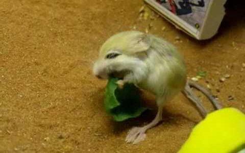 かわいすぎる世界最小のほ乳類「ピグミージェルボア(バルチスタンコミミトビネズミ)」