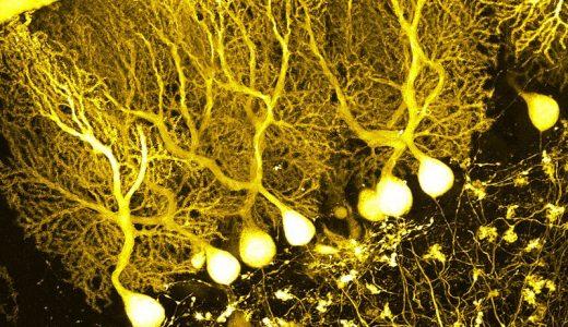 小脳のプルキンエ細胞の役割とは?