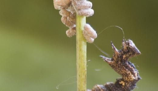イモムシをマインドコントロールをするグリプタパンテレス属のハチが凄すぎる!!
