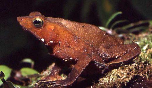 メスが死んでも腹から卵を取り出し交尾をし続けるカエルが怖すぎる