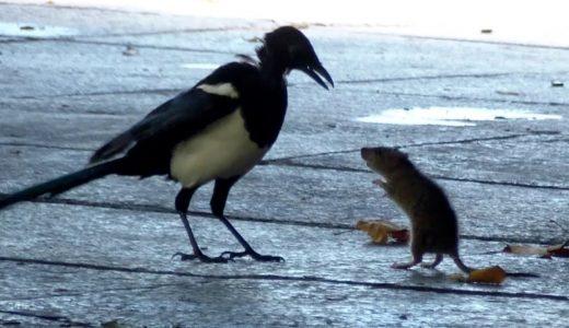 コクマルガラスvsネズミの圧倒的な戦力差の映像