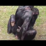 チンパンジーやニホンザルの社会ではどんなメス・オスがモテる?