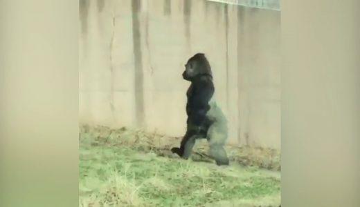 まるで人間みたい!二足歩行で歩く動物たちの映像【動画まとめ】