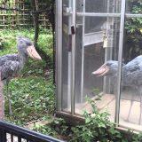 不動の鳥「ハシビロコウ」がめちゃくちゃ動いているのがとても意外な映像【動画まとめ】