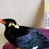 「あ、もしもしーあのーオオノですけどー」と有り得ないぐらいはっきりしゃべる九官鳥がすごすぎる!!