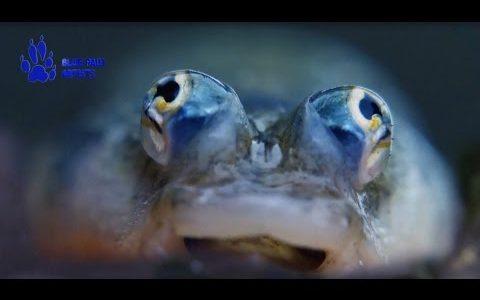 【変な目】すごい進化を遂げた面白い目を持つ動物たちまとめてみた!