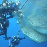 世界最大の魚類「ジンベイザメ」が巨大すぎる!