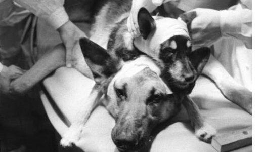 【閲覧注意】ウラジミール・デミコフ博士の作った双頭のイヌがホラーすぎる【狂実験】