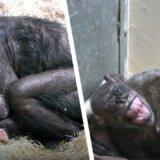 【動画】余命1週間のチンパンジーにヒトの親友が会いに行くと…?【感動】