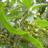 「ヘクソカズラ」という植物のネーミングがあまりにもひどすぎる!!