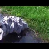 【動画】15匹の子どもを背負いながら移動するオポッサム
