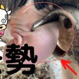 【閲覧注意】酪農家がウシの睾丸を潰す映像がショックすぎる!【牛肉の実態】