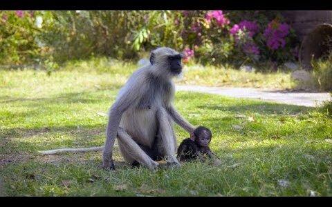 【自然の厳しさ】ハヌマンラングールの社会では地位の低いメス猿の子供は盗まれる