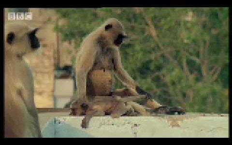 【閲覧注意】過去のリーダーの子どもを全て殺すハヌマンラングールの社会が狂気すぎる