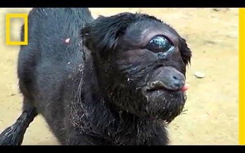 【閲覧注意】目が1つしかない単眼症の動物たち【動画】