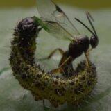 【閲覧注意】寄生バチの卵が体内で孵化して大量の幼虫が一気にイモムシから出てくる映像
