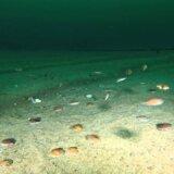 【動画】海の中をホタテの大群が泳ぎ回る