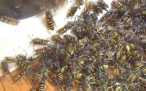 【動画】巣穴近くに掃除機をセットしてハチを吸いまくってみた