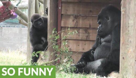 【動画】超迷惑そうに子どもをあしらう不機嫌なゴリラ