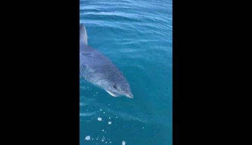 【閲覧注意】サメに体の半分喰われながらも泳ぐアシカ【動画】