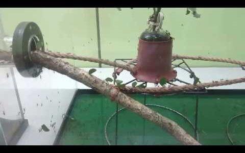 ハキリアリは大量の葉を巣に運んでキノコの培養をしている