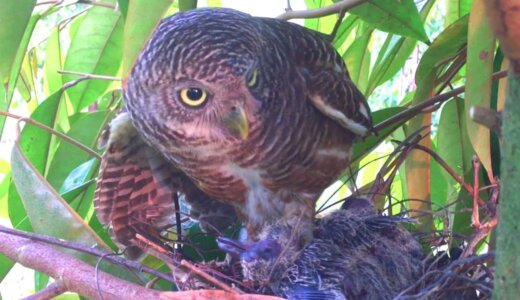 【閲覧注意】幸せそうな鳥のヒナの日常がフクロウによって地獄と化す
