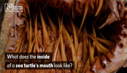 【動画】ウミガメの口の中は恐ろしいほど棘だらけ