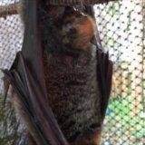 コウモリは出産するギリギリまでは逆さま状態で、出産する瞬間に頭を上にする