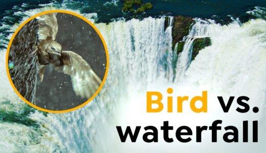 【動画】滝の裏に巣を作る水平飛行で最速の鳥「オオムジアマツバメ」