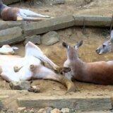 【動画】超だらしない姿勢で脱糞するカンガルー