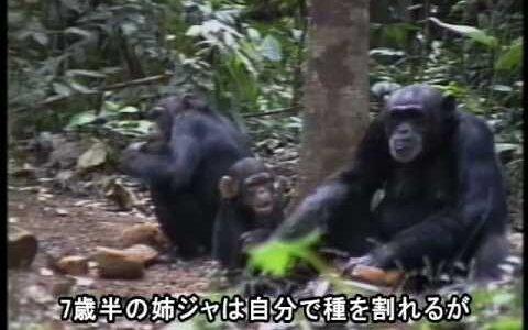 【動画】2歳の子どもが死んでミイラになっても背負い続ける母チンパンジー…切なすぎる