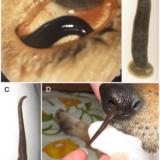 鼻の穴に寄生し吸血しながら成長するハナビル