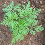 【ざんねんな名前】大して臭くもないのに「クソニンジン」と名付けられた植物が不憫すぎる!!