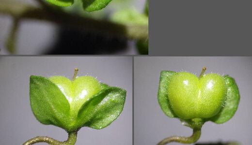 卑猥すぎる名前の植物「オオイヌノフグリ」「イヌノフグリ」が本当に睾丸に似ている!