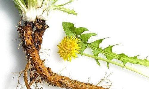 タンポポの根の長さはどれくらい?