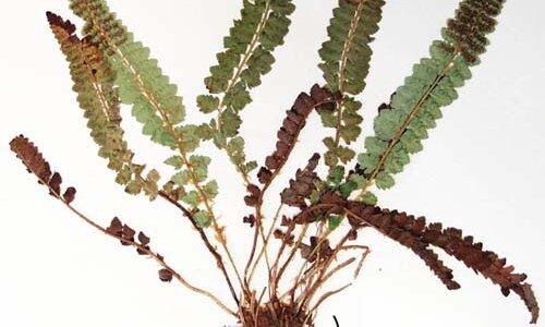 【シダの構造】シダの葉についている茎っぽいのは茎ではなく「葉柄」