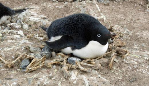 アデリーペンギンの巣の周囲にはウンコで描かれた模様がある