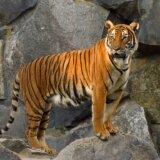 大型ネコ科動物の中でトラは狩りが一番下手