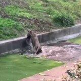 【動画】動物園で飼育されているライオンが野生の本能を思い出して孔雀を襲撃する