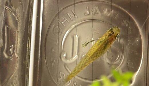 魚に寄生するイカリムシの名前の由来は?