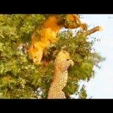 【動画】ライオンとヒョウが樹上で獲物を巡って争うも枝が折れて仲良く落下