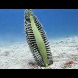 海の中にド派手なウチワ??こう見えてサンゴの仲間「ウミエラ」