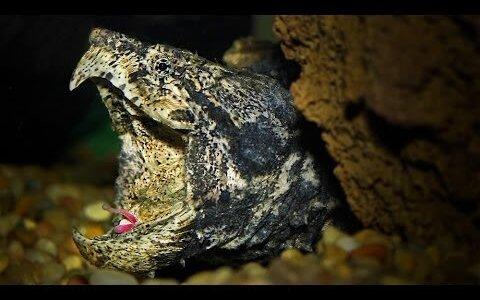 ワニガメは歳をとると舌の色がくすんで上手く魚を捕れなくなる