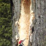 【動画】木をつつきすぎてとんでもなく大きな穴を開けてしまったキツツキ