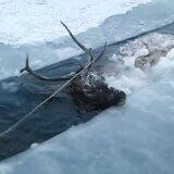 【動画】極寒のシベリアで川に落ちたアカシカ、無事に救出される