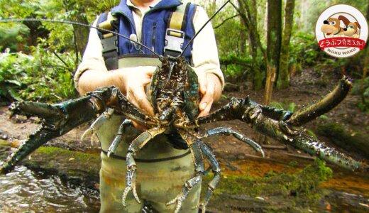 ザリガニさん半端ないっす。淡水生甲殻類最大のヤツ「タスマニアオオザリガニ」