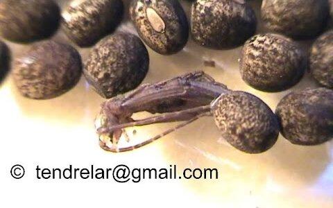 卵の何倍もの体を折り畳んで収納している昆虫界のエスパー伊藤なヤツ「ナナフシ」